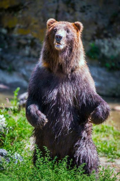Standing bear stock photo