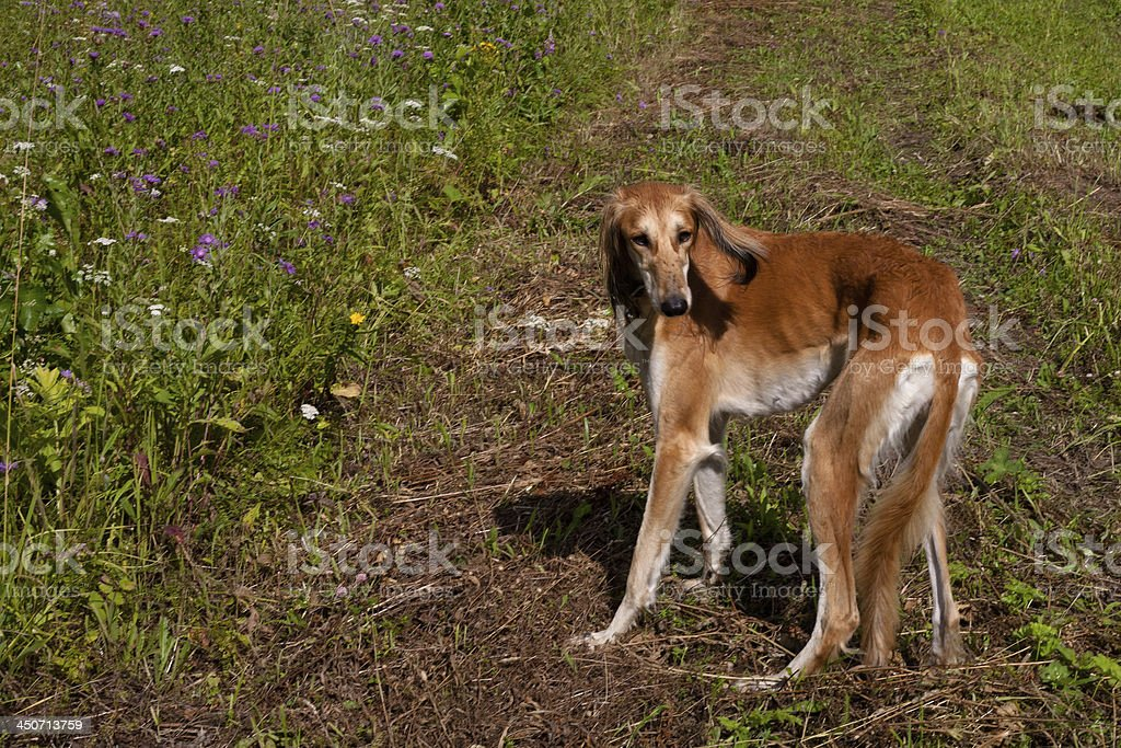 Standing brown saluki stock photo