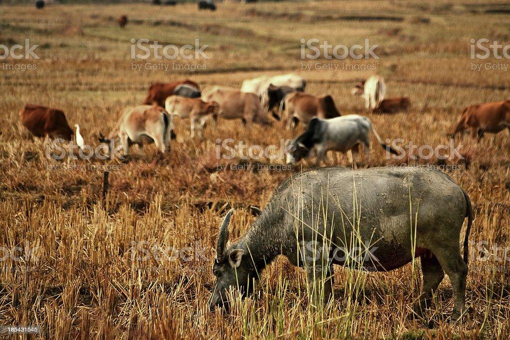 Standing buffalo royalty-free stock photo