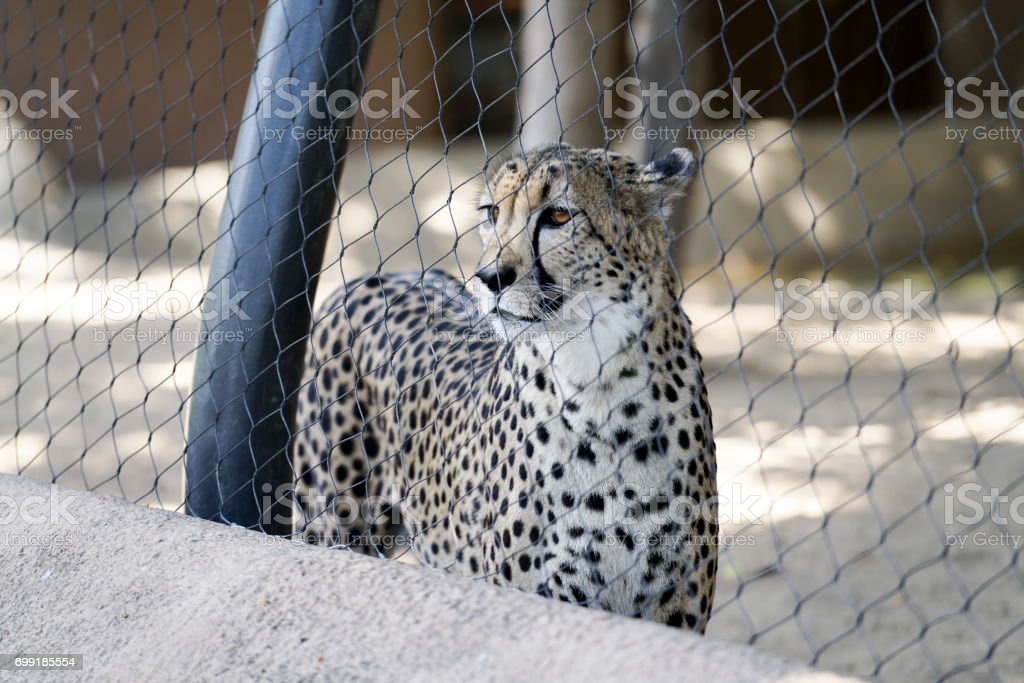 Standing Cheetah stock photo