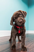 A cute young Chocolate Labrador puppy standing on a dark hardwood floor inside a home, looking at the camera, with her head tilted, wear a red collar and dog tag.