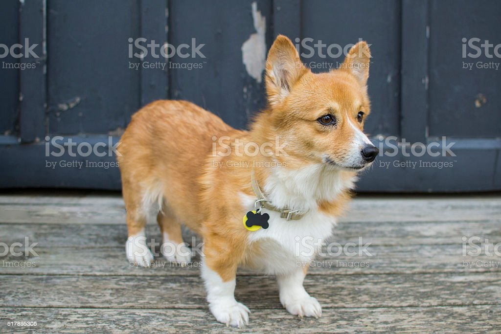 Standing Corgi stock photo
