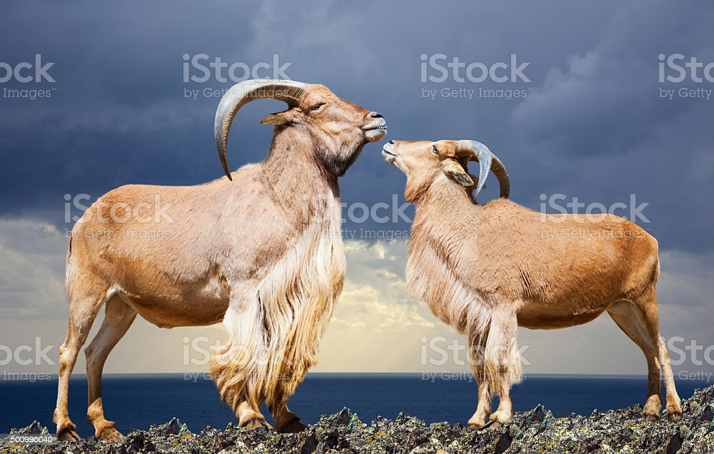 Standing couple of barbary sheep on rock stock photo