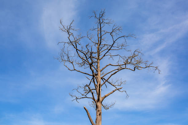 Standing dead tree leaves dry because of drought stock photo