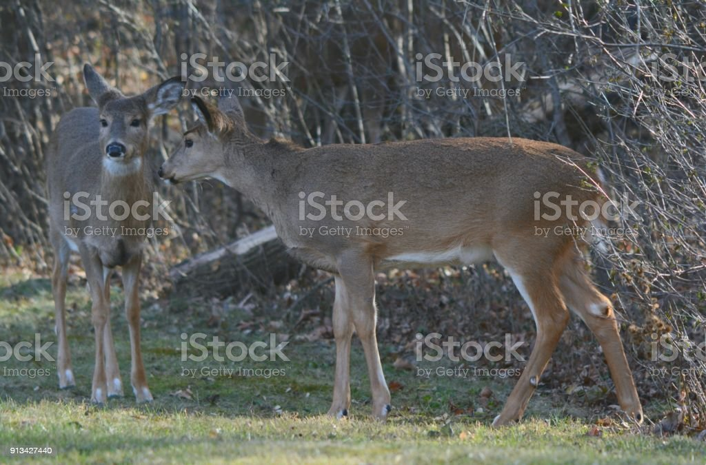 Standing Doe And Fawn Whitetail Deer stock photo
