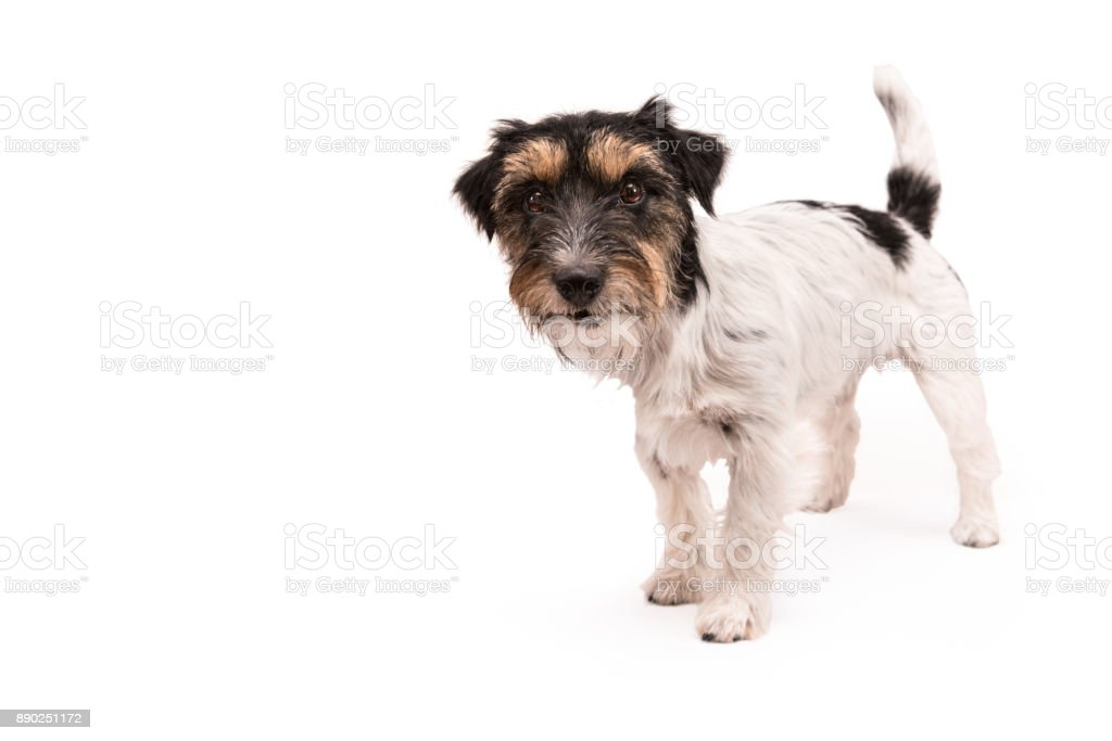 standing dog isolated in front of white background - tricolor rough haired Jack Russell Terrier 2 years old stock photo