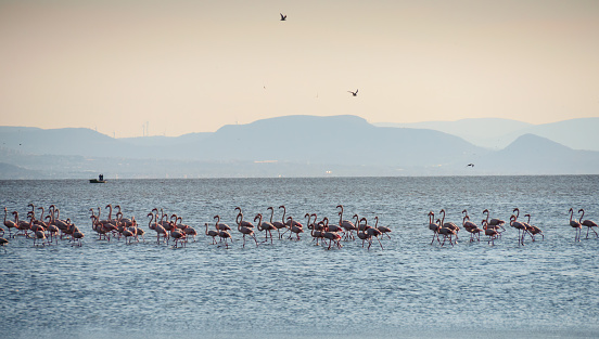 Standing Flamingo Bird Group On The Salt Water In Izmir City Turkey Travel Tourism Izmir Turkey Stock Photo Download Image Now Istock