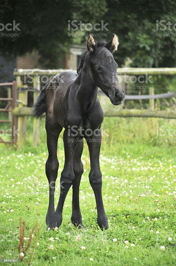 Standing Foal royalty-free stock photo