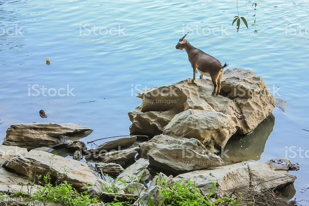 Standing Goat On The Rock stock photo