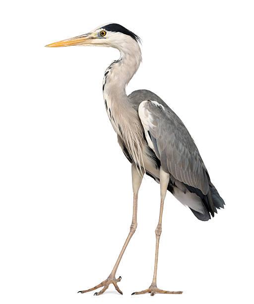 standing grey heron, ardea cinerea, 5 years old full body - balıkçıl stok fotoğraflar ve resimler
