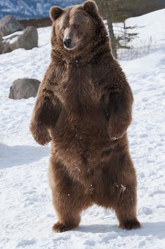 Brown bear (Ursus arctos) stands upright in snow;  Bozeman, MT, USA