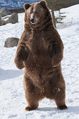 istock Standing grizzly bear in winter 1265114295