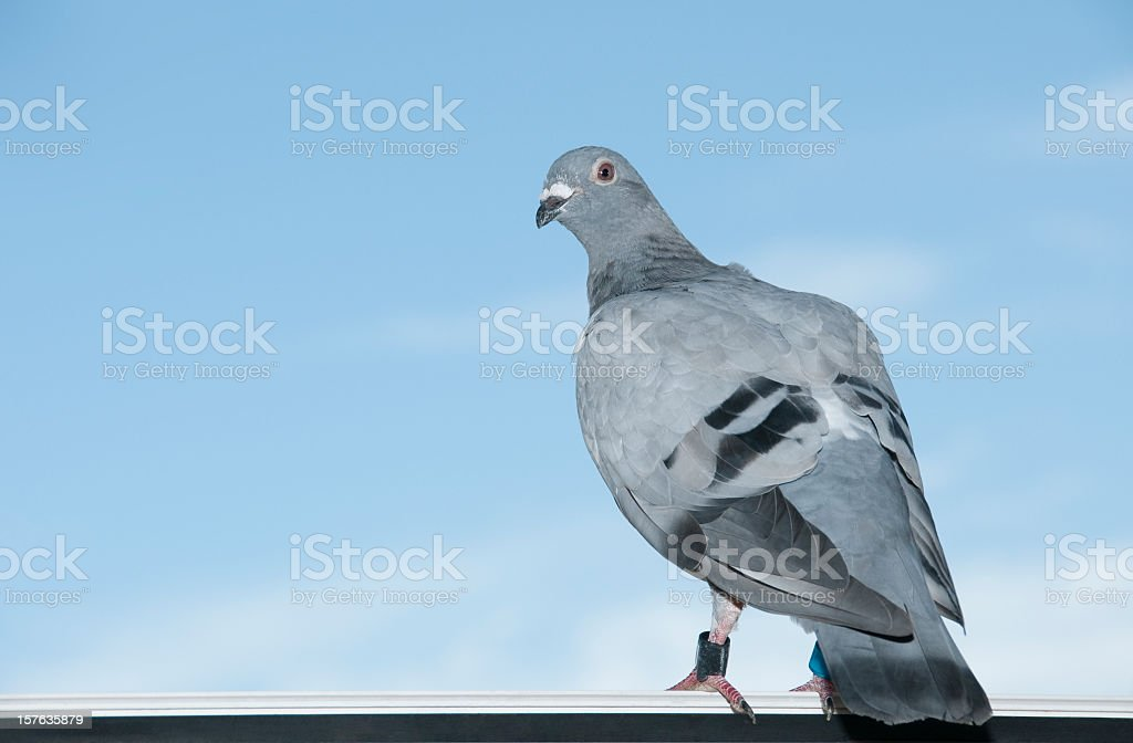 Standing homing pigeon looking leg-rings blue sky close-up stock photo