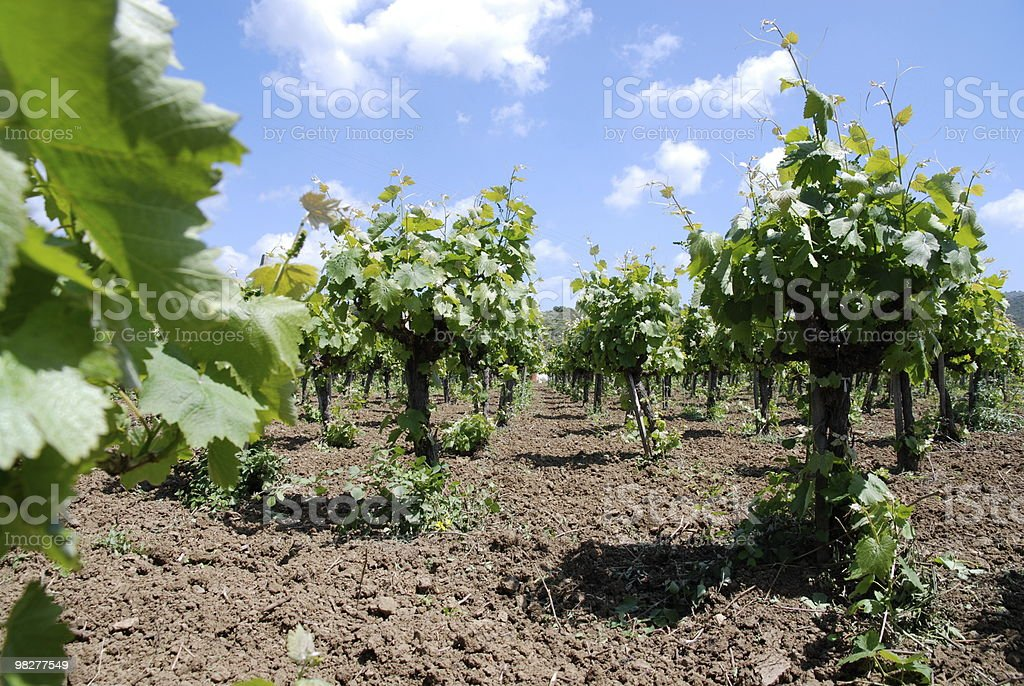 standing in the middle of a vineyard royalty-free stock photo