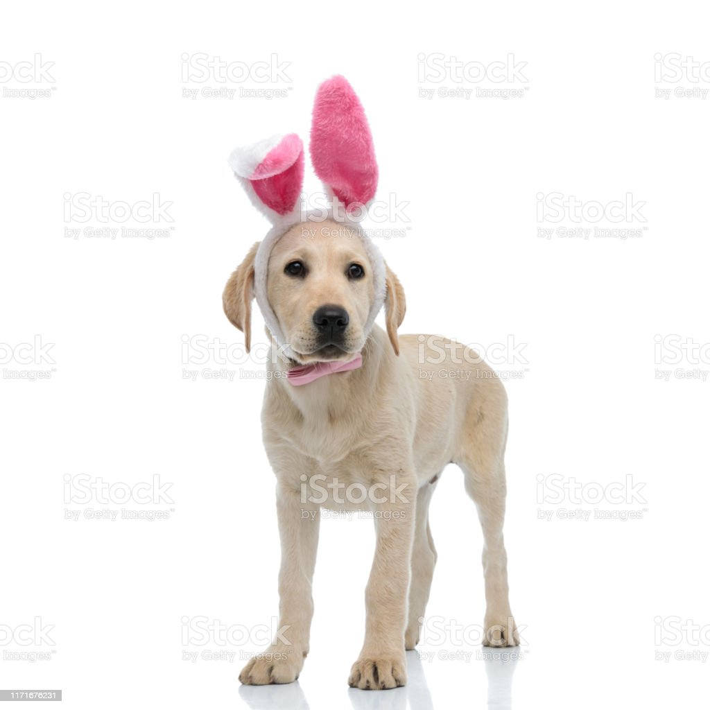 Standing Labrador Retriever Puppy Wearing Easter Bunny Costume Stock Photo Download Image Now Istock