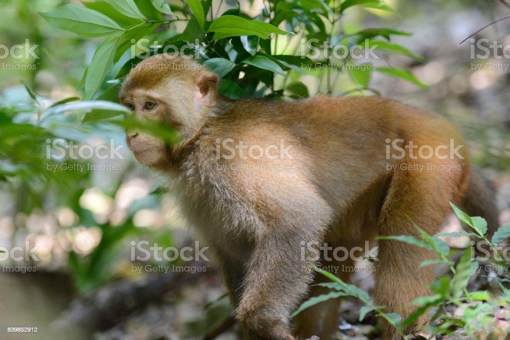 Standing male monkey stock photo