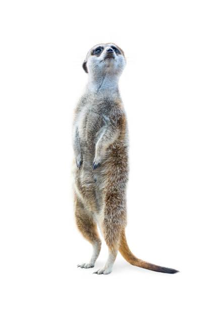 standing meerkat isolated - meerkat stock photos and pictures