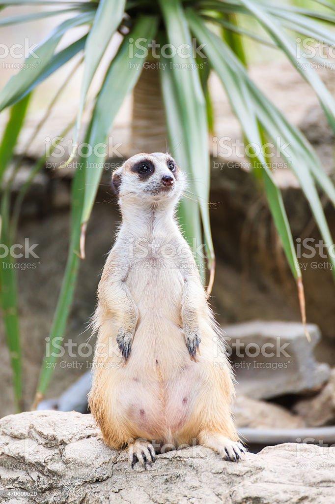Standing Meerkat stock photo