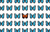 Blue butterflies on white background with orange butterfly standing out from the crowd.