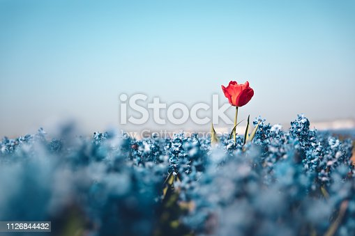Standing out concept - single red tulip growing out of the hyacinth field.