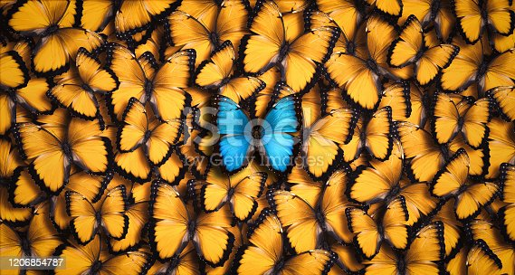 Standing out from the crowd concept: Large group of orange butterflies as a background with one blue morpho butterfly (Morpho peleides) in the foreground.