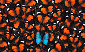 Large group of red lacewing butterflies as a background with one blue morpho butterfly (Morpho peleides) in the foreground.