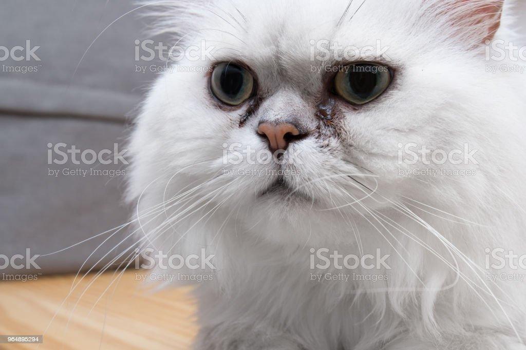 站立的波斯龍貓銀色樹蔭, 特寫 - 免版稅動物圖庫照片
