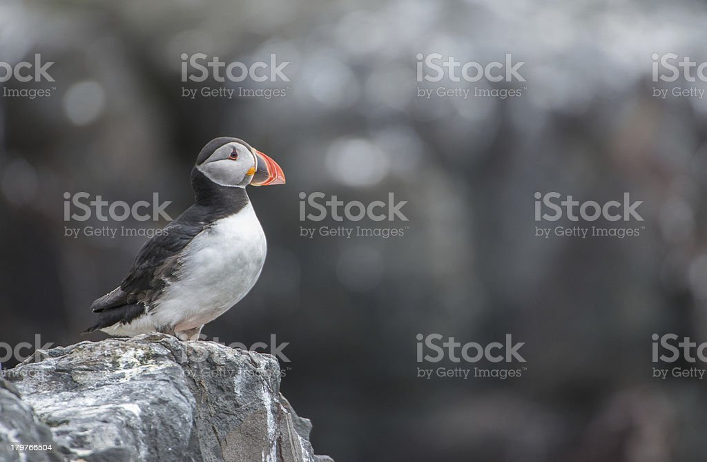 Standing puffin (Farne Islands, UK) royalty-free stock photo
