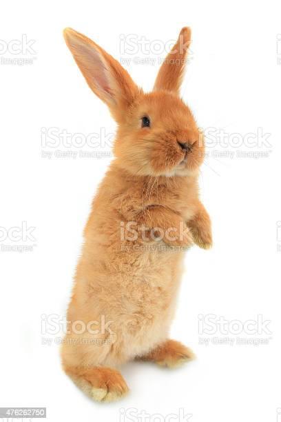 Standing rabbit picture id476262750?b=1&k=6&m=476262750&s=612x612&h=3kghfacxclvfaxtn5flax62ob1axajzceorycie0nhs=