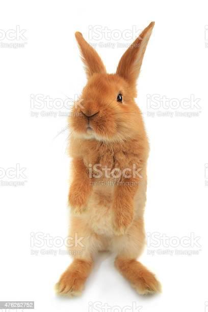 Standing rabbit picture id476262752?b=1&k=6&m=476262752&s=612x612&h=kzmi blparsko7veikdoj1esbt9pjzb eng5vf0kpje=