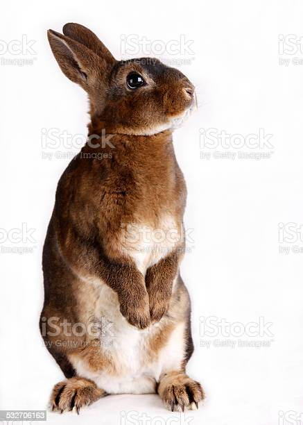 Standing rabbit picture id532706163?b=1&k=6&m=532706163&s=612x612&h=tq56botwk89afevcebo2pcvir1cwyudf1pbc2vh6one=