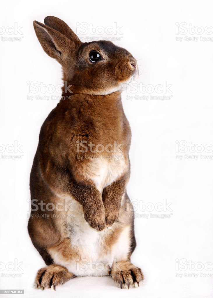 standing rabbit stock photo