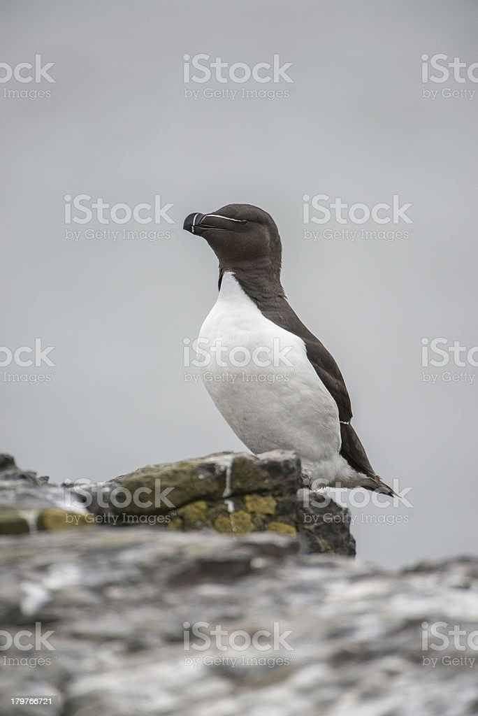 Standing Razorbill (Farne Islands, UK) royalty-free stock photo