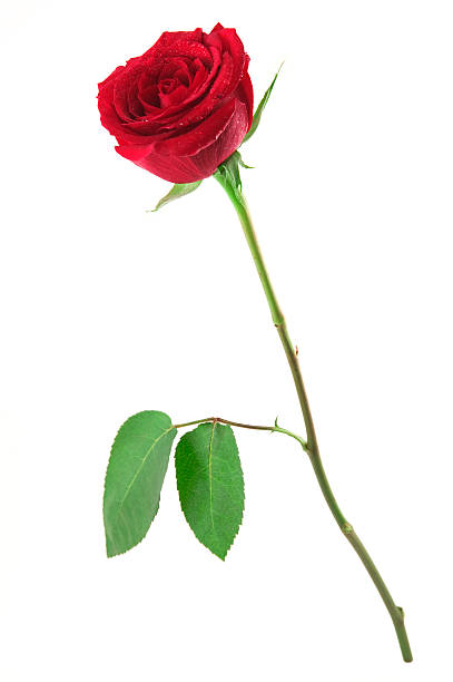 Standing red rose picture id155311274?b=1&k=6&m=155311274&s=612x612&w=0&h=yhzo3tkcd8d99 ehbofwtipngz1rygyq6jbx lkd70w=