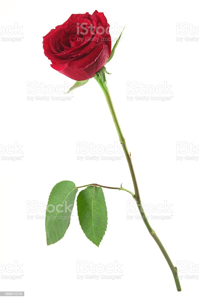 Standing Red Rose stock photo