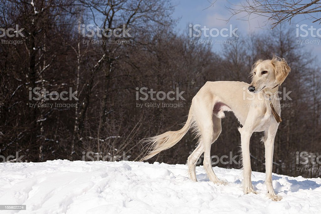 Standing saluki stock photo