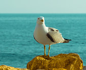 Standing Seagull - A close-up front side view of a seagull standing on a seaside rock with sea in the background