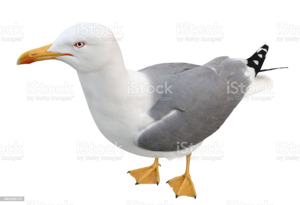 Standing seagull, top view, isolated on white. stock photo