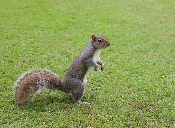 écureuil debout - écureui photos et images de collection