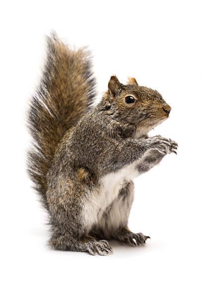 Standing squirrel stock photo