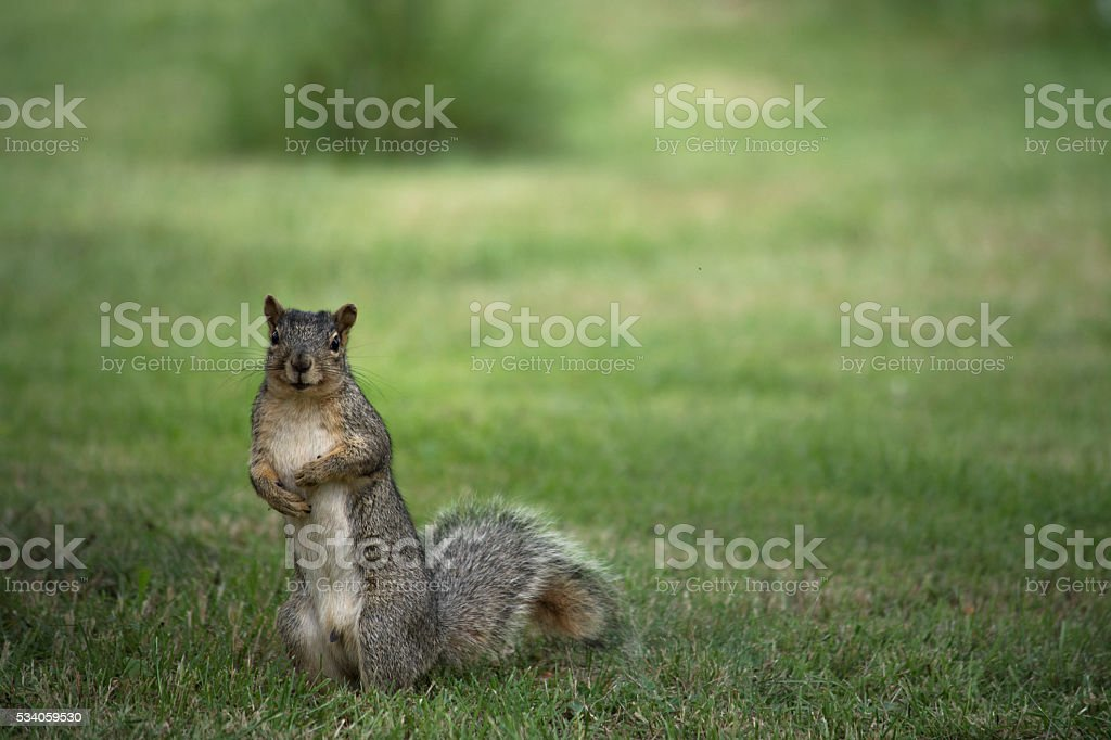 Standing Squirrel stock photo