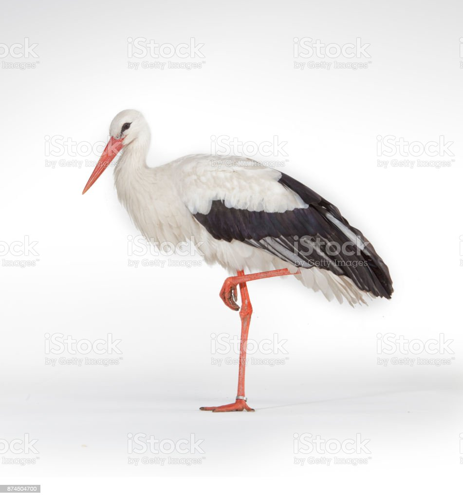Standing stork bird isolated on white background - Zbiór zdjęć royalty-free (2015)