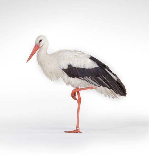 standing stork bird isolated on white background - bocian zdjęcia i obrazy z banku zdjęć