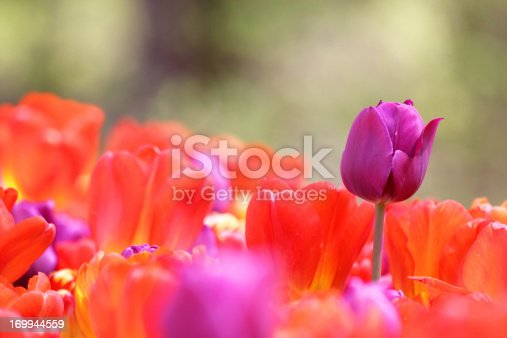 A purple tulip stands tall above a garden of other red and purple tulips