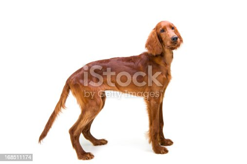 6 month old Red Setter puppy