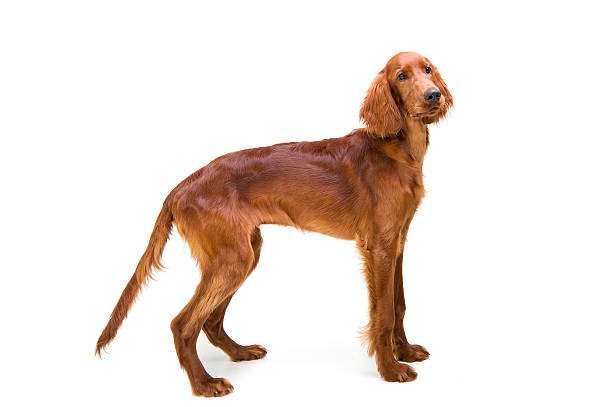 standing to attention 6 month old Red Setter puppy irish setter stock pictures, royalty-free photos & images