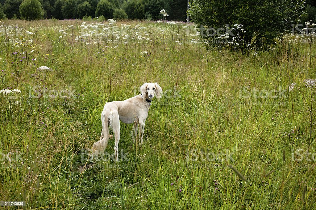 Standing white saluki stock photo