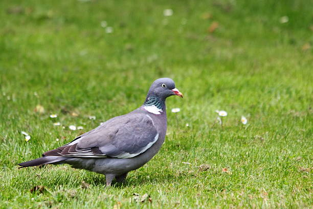 Standing Wood Pigeon on grass stock photo