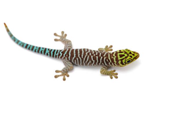 gecko diurne de classement se trouve sur mains isolés sur fond blanc - animaux familiers exotiques photos et images de collection