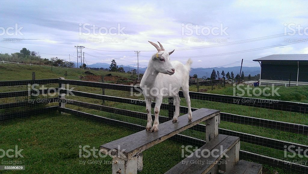 stand-up goat stock photo